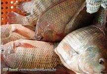 Tilápia Gift Grande (R$ 6,00). Peixes gordos, Alevinos e Juvenis de peixes