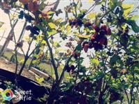Mudas Frutíferas para pomar