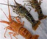 Temos lagostas para exportação