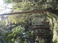 Floresta de Eucalipto Benthamii