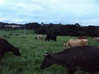 Vacas Jersey e mesticas Jersey