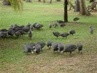 Galinha de angola - filhotes,Galinha de angola - filhotes