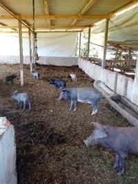 Leitões e Porcos Caipiras