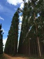 Fazenda 1.313 ha sendo 979,6 ha plantados em Eucalipto 4 Anos de idade