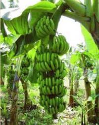 Compro Banana Nica e Caturra