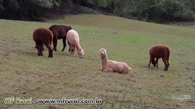Alpacas e Lhamas