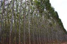 Eucalipto Madeira e Biomassa