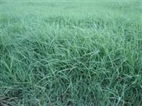 Mudas de grama para pastagem
