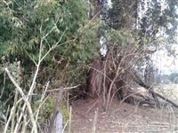 BAMBU PARA CELULOSE - bambusa vulgaris