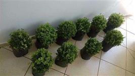 Buxinho Natural Tamanho Pequeno - Extremamente Saudável e com o Menor Preço da Região.