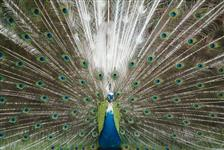 Pavão Azul Real