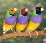Venda de Aves em Lote (manon, mandarin,canário,calopsitas,diamante,etc)