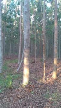 Floresta de eucalipto citriódora, interior SP