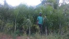 Floricultura Santana temos um lote formado com 500 Palmeiras Areca de Locuba, 2,5 metros