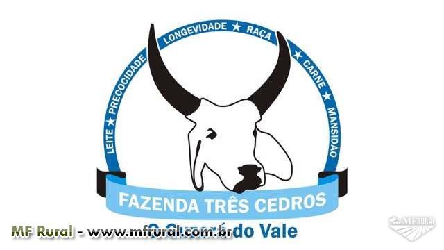 Venda de touros Guzerá