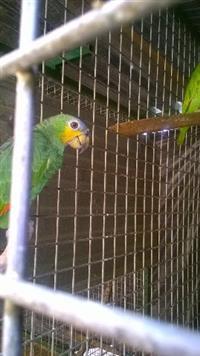 Papagaio do mangue