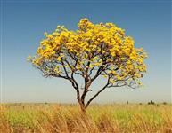 Ipê Amarelo árvore adulta