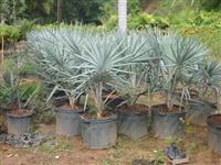 Palmeira Azul - Nome Científico: Bismarckia nobilis