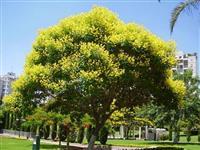 Sibipiruna – Caesalpinia peltophoroides