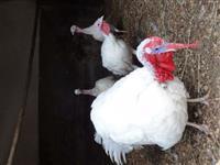 Ovos de peru