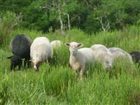 Imperdível -  Vendo lote de 11 ovelhas por R$3,500