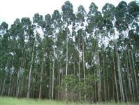 Vendo 70.000 m3 de eucalipto