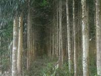 floresta de eucalipto duni
