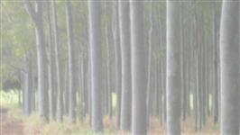 Vendo floresta de eucalípto citriodora