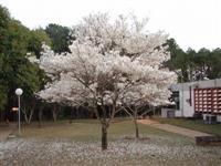 Mudas de Ipé Branco ( Nacional )