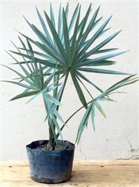 Muda Palmeira Azul Bismarckia Nobilis +70cm R$49.00