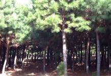 Pinus Elliotiis
