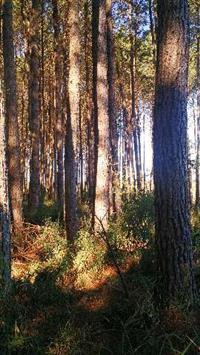 Fazenda com pinus
