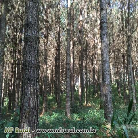Exportação - Pinus e Eucalipto