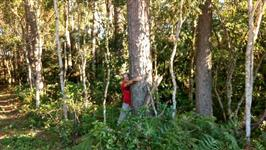 Pinus para Serraria