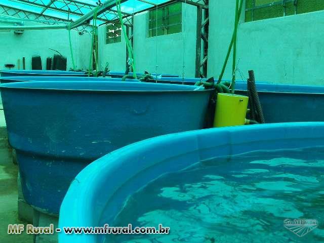 Criação de Peixes e Camarões em Bioflocos ou Sistema Mixotrófico, Cultivo de Algas e Aquaponia