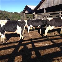 Vacas holandesas em lactação