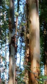 Árvores de Eucalipto Grandis