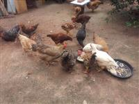galinhas caipiras e poedeiras