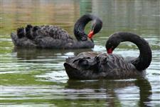 Vendo urgente cisne preto e branco