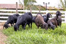Vendo Ovelhas Santa Ines