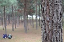 Área próxima a cidade com 43 mil mudas de pinos plntadas