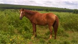 Cavalo 1/2 sangue Manga Larga+sela