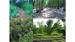 Mudas de Bambu D.C. ASPER e D.C. STRICTUS