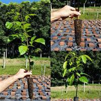 Mogno Brasileiro - Swietenia macrophylla