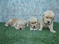 Lindas Golden Retriever