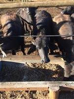 Vendo 18 bufalos macho 12meses 10arroba