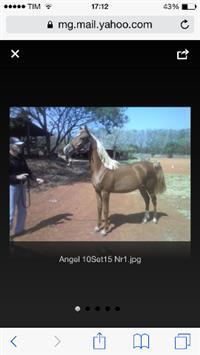 Potra PSA,   Angel TGS