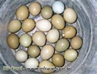 Ovos de Faisões Coleira/Versicolor