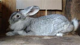 coelhos gigantes de flandres