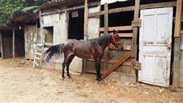Cavalinho Rosilho inteiro.... Manso de tudo comecou a engatar agora... venda $4.000,00 ou troco.....